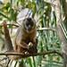Hooded Capuchin (Sapajus cay) eating fruits of Urucuri Palm (Attalea phalerata)