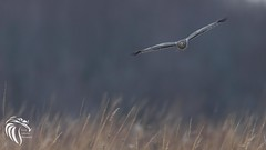 Northern Harriers of Mercer - 11 (RGL_Photography) Tags: bif birds birdsinflight birdsofprey circuscyaneus grayghost henharrier marshhawk mercercounty mothernature nikonafs600mmf4gedvr nikond500 northernharrier raptors wildlife wildlifephotography lawrencetownship newjersey unitedstates us