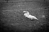 Stand together (ParadoX_Design) Tags: eemnes bird vogel waterbird zwaan swan polder netherlands nederland winter snow sneeuw snowflakes january