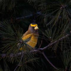 Evening Grosbeak (Islander_16) Tags: eveninggrosbeak bird nature outdoor naturephotography outdoorphotography naturelover wild wildlife