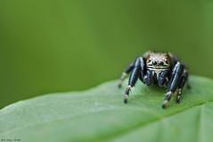 Photo 13 (ultimumpicture) Tags: 90mm araignée macro nature salticide