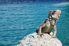 The Little mermaid (Carlos A. Aviles) Tags: lizard lagarto reptile reptil basking