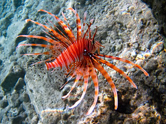 20110504-080937-Hurghada (vdirenko) Tags: africa egypt hurghada redsea pteroisvolitans lionfish