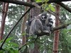 Ring-Tailed Lemur YWP Animals (LadyRaptor) Tags: yorkshirewildlifepark yorkshire wildlife park doncaster ywp animal animals nature cute ringtailedlemurs ring tailed stripy tail lemur lemurs madagascar primate climbing perching tree trees lemurheights