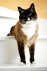 Eliot (Mariie76) Tags: animaux chat félin noir marron blanc tâche museau birman sacré de birmanie siamois snowshoe mignon jeu escalier marches posé