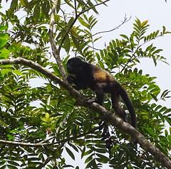 Mono aullador Parque Volcan Arenal La Fortuna Costa Rica 08 (Rafael Gomez - http://micamara.es) Tags: parque volcán arenal animales fauna la fortuna costa rica howler monkey mono aullador volcan animal arbol arboles