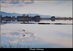 La fuga (Daniele Marongiu) Tags: fenicottero uccello rosa volatile fuga decollo stagno laguna parco molentargius cagliari sardegna