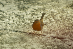 Winter (Natali Antonovich) Tags: winter christmasholidays christmas tradition belgium belgie belgique bird snow frost stare tervuren