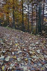 foglie nel sottobosco, leaves in the undergrowth (paolo.gislimberti) Tags: paesaggi landscapes wood bosco sottobosco undergrowth foglie leaves autumn autunno autumnalcolors coloriautunnali