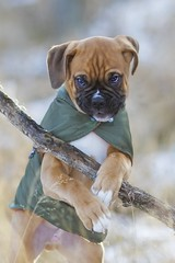 "bruno as ""Robin Hood"" (Heidi Spiegler) Tags: dog puppy outdoor animal pets pet dogs sweet"