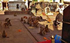 "NEPAL, Kathmandu,  Stupa von Swayambhunath, Affen en masse, 15143/7830 (roba66 Thx for +27 Million views) Tags: affe primate baboon monkey ape apes monkys affen tiere animals reisen travel explore voyages urlaub visit roba66 nepal asien südasien asia city stadt capitol kathmandubefore earthquake ""stupa von swayambhunath"" stupa swayambhunath tempel tempelanlage building architektur architecture arquitetura kulturdenkmal monument bau fassade façade platz places historie history historic historical geschichte urban"