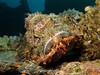 Scorpionfish (Lerotic) Tags: scorpionfish uw underwater egypt redsea scuba diving