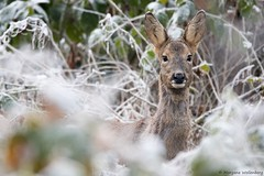 Chevrette (Morgane_W) Tags: chevreuil roedeer capreoluscapreolus chevrette animal faune sauvage wildlife forêt neige snow hiver winter canon80d tamron150600 wow