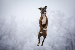 Bouncy girl (Tamás Szarka) Tags: dog pet animal puppy boxerdog boxer outdoor nature forest nikon winter jump
