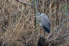Great Blue heron who just woke up (adirondack_native) Tags: aquatic great blue heron awake one leg sleepy
