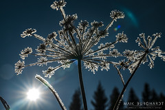 snow flower / ice flower (maik.burghardt) Tags: iceflower frozen iced icecold ice flower winter bluesky frosted icecovered chilled icy geometry pattern nature frost eis schnee gefroren vereist eisblume sony sonya7sii sonyalpha