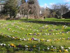 crocuses (Ian Robin Jackson) Tags: crocuses aberdeen flowers colours tree building aberdeenuniversity cruickshankbotanicgardens sony spring march botanicgarden city floraldisplay patterns crocus plants springtime gardens fairyrings beautiful gardenart yellow purple white