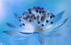 Mysterious stranger (Trayc99) Tags: blue flower delicate beautyinnature beautyinmacro macro magical decorative depthoffield closeup astrantia