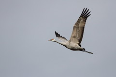 Sandhill crane (jlcummins - Washington State) Tags: bird sandhillcranes washingtonstate franklincounty tamronsp150600mmf563divcusd canon m