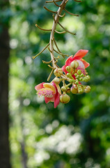 Flowers from the unusual cannonball tree (phuong.sg@gmail.com) Tags: beautiful beauty bethesda bloom blossom bouquet bright buddha buddhism buddhist cannonball clear couroupita flower fresh garden gardening green guianensis leaf lecythidaceae light meadow natural naturally nature orange outdoors pattern petal pink plant present pretty sala season single spring sweet temple thai thailand tree