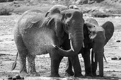 Samburu Kenya-250.jpg (MudflapDC) Tags: eastafrica kenya safari samburunationalreserve kalamaconservancy elephant bw sarunisamburu ewasonyiroriver vacation samburu dry red samburucounty ke