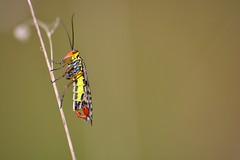 Panorpa meridionalis (jotneb) Tags: panorpa natureza animais insectos escorpião