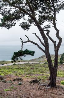 foggytree