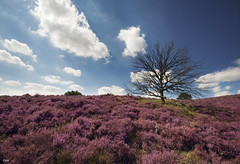 Blooming heather field (Jessie van Weert) Tags: park blue summer sky sun mountain holland tree nature netherlands beautiful berg field sunshine clouds landscape photography nikon postbank flickr blauw fotografie view purple dynamic cloudy blossom outdoor heather gorgeous hill ngc natuur wolken sigma wideangle boom explore zomer heath hei lucht fabulous 1020 veld bewolkt veluwe augustus veluwezoom heide landschap blooming paars natuurmonumenten heuvel gelderland bloei natuurgebied rheden nationaal groothoek dynamisch struikheide d3100 bloeitijd