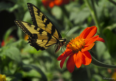 Tiger Swallowtail (JBtheExplorer) Tags: flowers wisconsin butterfly garden tiger mexican torch sunflower nectar swallowtail