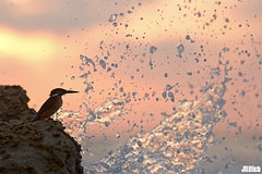 Common kingfisher, Eisvogel, Alcedo atthis @ Tel Baruch Beach, Tel Aviv, 2015 (Jan Rillich) Tags: commonkingfisher eisvogel alcedoatthis telbaruch beach telaviv 2015 kingfisher sea meer sunset sundown red jan rillich janrillich picture photo photography foto fotografie eos digital wildlife animal nature beautiful beauty sunny sun fauna flora free animalphotography image israel urban urbannature flickrtravelaward canon canon5dmarkiii