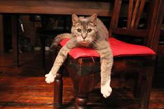 Ika Arms Extended (meg williams2009) Tags: cat pet animal chair housecat ika cats pets animals cutecats funnycats beautifulcats feline kittens kitten