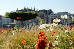 Grand Pont gardens (overthemoon) Tags: flowers gardens fleurs buildings schweiz switzerland suisse bright windy sunny lausanne svizzera cosmos dahlias vaud flon romandie bise grandpont imagepoetry roofgardens