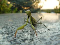 A mantis. September 26, 2015 / Богомол. 26 сентября 2015 г.