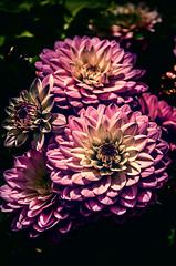 Family portrait (Melissa Maples) Tags: pink flowers plants germany deutschland nikon europe nikkor vr ludwigsburg afs  blba 18200mm f3556g blhendesbarock  18200mmf3556g d5100