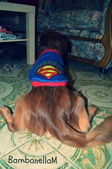 The superdog (BambanellaM) Tags: world pictures family music favorite cats baby pets cute home dogs boyfriend girl beautiful animals sisters myself puppy beard hearts happy photography nice eyes moments day remember different cosplay brothers weekend style calm lovers dreams instant week summertime sweetheart truelove pinup goodyear bestfriends sons bambam somebody niceday gaminglife ilovemydog lightbrown lovebaby manofmydreams otakugirl hairbrown housband oldyears tagsforlife