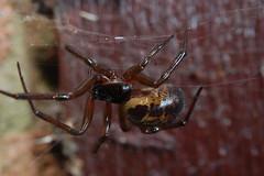 Stunning Stella Steatoda (Procrustes2007) Tags: uk england macro spider suffolk britain wildlife arachnid flash nikond50 sudbury closeuplens wildlifephotography steatodanobilis falsewidowspider afsnikkor1855eddx gridreftl883407