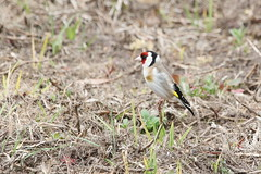 "Europian Goldfinch ""Carduelis carduelis    "" (helmut1946 ( 125 days on the road )) Tags: bird backyard goldfinch australia victoria september visitor macarthur cardueliscarduelis europiangoldfinch september2015"