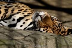 Jaguar - Panthera Onca (MrTDiddy) Tags: female cat mammal zoo big kat feline antwerp jaguar zo antwerpen zooantwerpen grote onca panthera vrouwelijk zoogdier grotekat bigct