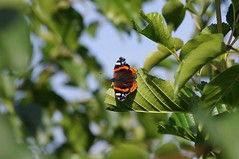"""Red Admiral (Butterfly) • <a style=""""font-size:0.8em;"""" href=""""http://www.flickr.com/photos/127645318@N02/21843050891/"""" target=""""_blank"""">View on Flickr</a>"""