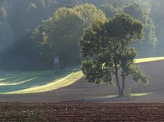 (:Linda:) Tags: tree germany haze village thuringia soil aspentree espe populustremula brden zitterpappel populustree
