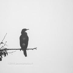 The bird (http://www.jeromlphotos.fr) Tags: bird fog canon eos blackwhite bretagne breizh 7d oiseau brouillard rennes noirblanc britany cormoran illeetvilaine 100400 parcdesgayeulles