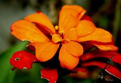 Toi plus moi (Bouteillerie) Tags: flower macro floral fleur fleurs jaune automne canon botanique horticulture orang agricole languageofflowers languageofflower bouteillerie automnequbecois