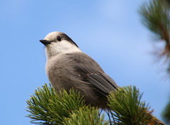 Gray Jay, or Whiskey Jack (Chris Parker2012) Tags: canada bird jasper crow malignelake grayjay greyjay whiskeyjack