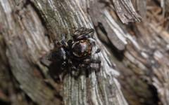 Hypoblemum (dustaway) Tags: arthropoda arachnida araneomorphae araneae salticidae euophryinae hypoblemumalbovittatum jumpingspiders tullera northernrivers nsw nature australia tullerapark spinne