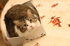 cat in box (dbrothier) Tags: cat box boite chat fitness canonef50mmf14usm canon eos 6d flickr13 smileonsaturday preciouspets canon6d