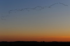 Coucher des grues (Papyricko) Tags: coucher lac migration aube marne hautemarne lacduder grues gruecendre