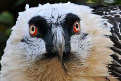 Eyes (Nephentes Phinena) Tags: vogelparkwalsrode bartgeier beardedvulture