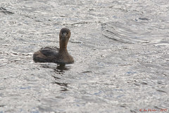 Pied-billed Grebe-15-2 (Ian L Winter) Tags: ca canada nature birds newfoundland stjohns seabirds saintjohns piedbilledgrebe newfoundlandandlabrador quidividilake