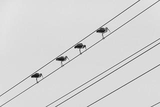 on-line Ibis