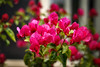 Bougainvillea bokeh (danielacon15) Tags: pink plant flower nature dark outdoors colorfull fuchsia bougainvillea depthoffield bonsai
